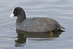 A coot on the water Royalty Free Stock Photos