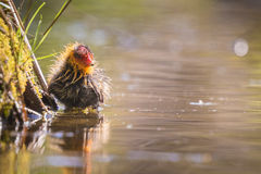 Coot chick Royalty Free Stock Photo