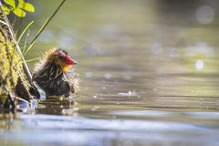 Coot chick Stock Images