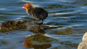 Coot chick on fresh water pond. stock video footage