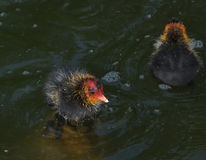 Coot chick on fresh water pond. Royalty Free Stock Photos