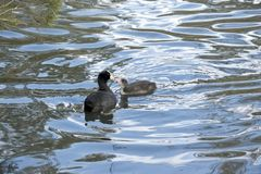 Coot with chick hatchling Royalty Free Stock Photos