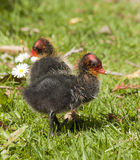 Coot chick Stock Photos