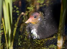 Coot Chick in Reeds. Very young Coot chick in amongst green reeds at the waters edge Royalty Free Stock Photography