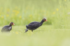 Coot chick walking a field Royalty Free Stock Photo