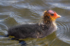 Coot chick on water. Cute scruffy young bird. Coot Fulica atra chick on water. Baby water bird from the rail family. Close up  of this cute scruffy young animal Stock Image