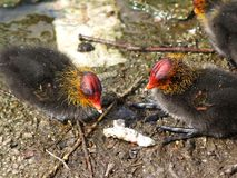 Coot Chicks Stock Photos