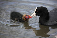 Coot with chicks Stock Photo