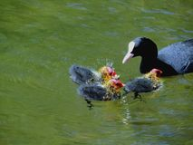 Coot with chicks royalty free stock image