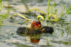 Coot with chicks on the lake (fulica atra) Royalty Free Stock Photos