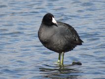 Coot royalty free stock image