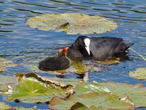 Coot and coot youngster in the sun - Fulica atra. Coot looking at coot youngster with water lilies Royalty Free Stock Photos