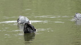 Coot Courtship stock footage