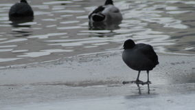 Coot Crazily Looking Around stock video footage