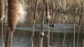 Coot diving for vegitation. Coot diving for vegetation with bulrushes 5n foreground stock footage