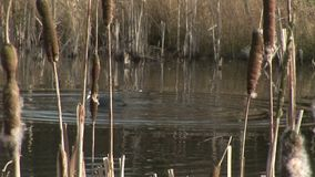 Coot diving into water near reeds. Coot swimming past reeds England stock video