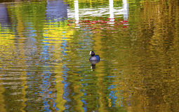 Coot Duck River Reflection Keukenhoff  Lisse Holland Netherlands. European Coot Duck River Reflection Keukenhoff  Lisse Holland Netherlands.  Called the Garden Royalty Free Stock Images