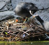 Coot ducks feeding their ducklings Stock Images