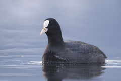 coot eurasian Obrazy Royalty Free