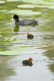 Coot family on a pond Stock Photos