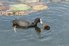 Coot family on a pond Stock Image