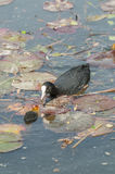 Coot family on a pond Royalty Free Stock Photo
