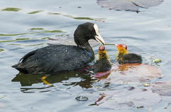 Coot family on a ponf Stock Images