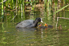 A coot is feeding Royalty Free Stock Photos