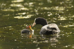 Coot feeding chick Royalty Free Stock Photography