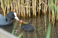 Coot feeding chick Stock Photos
