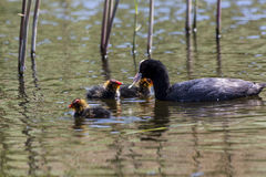 Coot feeding chicks Stock Photography