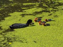 Coot feeding her young chicks Royalty Free Stock Images