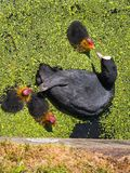 Coot feeding her young chicks Royalty Free Stock Photos