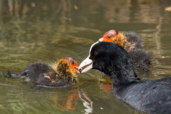 Coot feeding it`s hatchlings Stock Photography