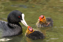 Coot feeding it`s hatchlings Stock Photo