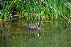Coot feeding young Stock Image
