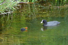 Coot feeding young Royalty Free Stock Photography