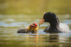 Coot feeds chicks Royalty Free Stock Photo