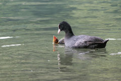 A coot feeds her chick Royalty Free Stock Photography