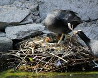 Coot female duck feeding its ducklings Royalty Free Stock Images