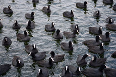 Coot Flock Fulica atra Stock Images