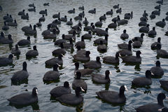 Coot Flock Fulica atra Royalty Free Stock Photography