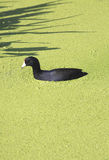 A Coot in the Florida Everglades. Stock Image