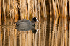 Coot Folaga (Fulica atra). Swims in the lake with with reeds background reflected in water stock photo