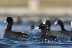 Fulica atra. Four coot in a eye Royalty Free Stock Photography