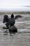 Coot in freezing water Stock Photography