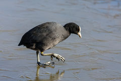 Coot (fulcia atra) gingerly walking on the ice Stock Photography