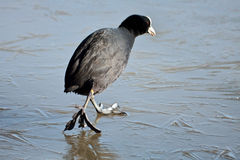 Coot (fulcia atra) gingerly walking on the ice Stock Photos