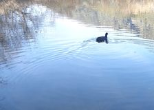 Coot, Fulica americana, Swimming Across a Quiet Pond. A coot quietly swims away, across still water in this image. Ripples break up reflected images on the pond` stock image