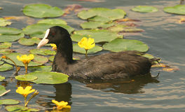 Coot / Fulica atra. A Eurasian Coot (Fulica atra) on the water of a lake Royalty Free Stock Photo